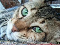 A closeup of a tiger-striped cat`s head with it`s fantastic big green eyes. The photo of the well-fed cat was shot during the celebration of Rosh Hashanah stock photo