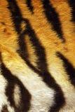 Closeup of tiger stripes on fur Stock Photos