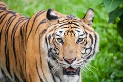 Closeup tiger Stock Photos