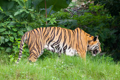 Closeup tiger in the zoo Stock Photo