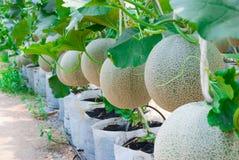 Closeup till Cantaloupe/muskmelon/cucumisen Melo L var Cucurbitaceous Cantalpensis/ Arkivfoton