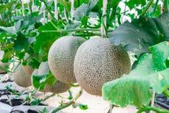 Closeup till Cantaloupe/muskmelon/cucumisen Melo L var Cucurbitaceous Cantalpensis/ Royaltyfri Foto