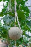 Closeup till Cantaloupe/muskmelon/cucumisen Melo L var Cucurbitaceous Cantalpensis/ Royaltyfria Foton