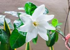 Closeup till den enkla nya blommande vita Gardenia Collinsiae/Rubiaceaeblomman Royaltyfri Fotografi