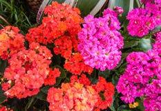 Closeup till rött och chockrosor som flammar Katy/Kalanchoe/Blossfeldiana/Poelln och blandCrassulaceae fotografering för bildbyråer