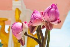 Closeup till tre härliga Lotus Bud Flower arkivbilder