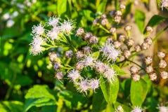 Closeup till vita bittra Bush, Siam Weed [Ageratumconyzoides Linn ] Arkivbilder