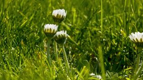 Closeup timelapse of three common daisies unfolding in the morning sun stock video footage