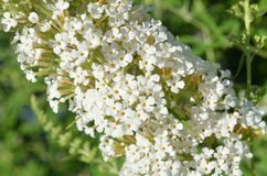Closeup of tiny flowers on a white butterfly bush Royalty Free Stock Images