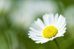 Closeup of a tiny little daisy Stock Photo