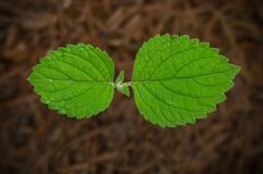 Closeup of tiny plant leaves. Close up of tiny plant sprouting from soil Royalty Free Stock Photo