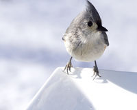 Closeup Titmouse Bird Stock Image