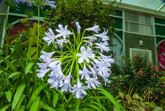 Closeup to African Lily/ Agapanthus/ Lily of the Nile/ Agapanthus Headbourne Hybrids/ Agapanthaceae Royalty Free Stock Image