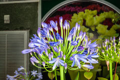 Closeup to African Lily/ Agapanthus/ Lily of the Nile/ Agapanthus Headbourne Hybrids/ Agapanthaceae Stock Images