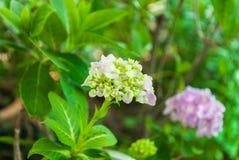 Closeup to Beautiful Pastel Pink Hydrangea/ Hortensia Flower Royalty Free Stock Photo