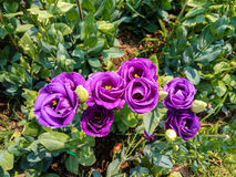 Closeup to Beautiful Purple Lisianthus/ Tulip Gentian/ Texas Blue Bell/ Eustoma Grandiflorum L. Cass/ Gentianaceae Stock Image