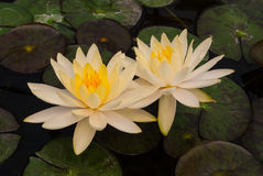 Closeup to Beautiful Water Lily/ Nymphaea Lotus/ Nymphaeaceae stock photo