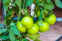 Closeup to Big Organic Green Tomatoes Plant Royalty Free Stock Image