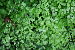 Closeup to a Black Maidenhair fern (Adiantum capillus-veneris) Stock Photography