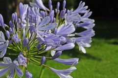 Blue flowers of lily of the Nile. Closeup to blossoms of agapanthus praecox, a flowering garden plant, also known as african lily Stock Photo
