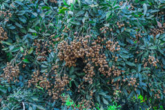 Closeup to Bunch of Longan Tree Background Royalty Free Stock Photo