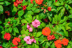 Closeup to Busy Lizzie/ Patience Plant/ Sultana/ Impatiens Walleriana Hook.f./ Balsaminaceae Stock Photo