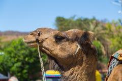 Closeup to a Camel in India Stock Photos