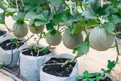Closeup to Cantaloupe/ Musk Melon/ Cucumis Melo L. Var. Cantalpensis/ Cucurbitaceous Royalty Free Stock Image