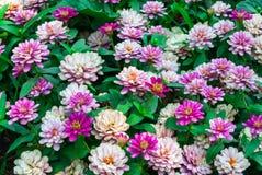 Closeup to Chrysanthemum Morifolium Ramat./ ASTERACEAE COMPOSITAE Stock Image