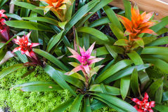 Closeup to Colorful Bromeliad/ Livingvase/ Urn Plant/ Aechmea Fasciata/ BROMELIACEAE Royalty Free Stock Photos