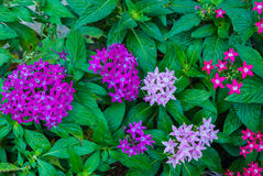 Closeup to Colorful Egyptian Starcluster/ Starflower/ Pentas Lanceolata Forssk. Deflers Royalty Free Stock Photos