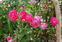 Closeup to Colorful Pink or Summer Damask Rose/ Rosa ? Damascena Mill./ Rosaceae Flowers.  Royalty Free Stock Photo