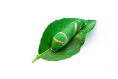 Closeup to Cute Daphnis Nerii/ Oleander Hawk-Moth on White Background Stock Photos