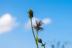Closeup to Dried Gold Beard Grass/ Chrysopogon Aciculatus Retz. Trin./ POACEAE/ GRAMINEAE.  Royalty Free Stock Photo