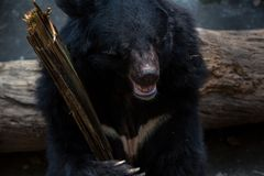 Closeup to face of adult Formosa Black Bear holding wooden stick with the claws royalty free stock photos