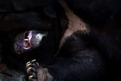 Closeup to the face of an adult Formosa Black Bear lying down on the forest royalty free stock photo