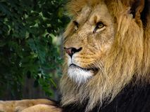 Majestic Male Lion Face Closeup. Closeup to the face of a majestic male lion royalty free stock image