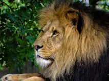 Majestic Male Lion Face Closeup. Closeup to the face of a majestic male lion royalty free stock photography
