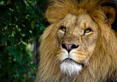 Majestic Male Lion Face Closeup stock image