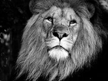 Majestic Male Lion Face Closeup, in Black and White. Closeup to the face of a majestic male lion, in black and white stock images