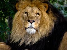 Majestic Male Lion Face Closeup. Closeup to the face of a majestic male lion stock image