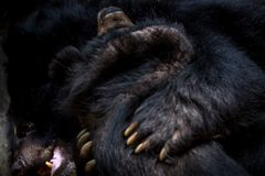 Closeup to the face of two adults Formosa Black Bears figthing with the claws royalty free stock photos