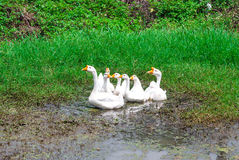 Closeup to Family of Beautiful White Goose, Anser Cygnoides, Playing Muddy Water Stock Image