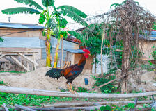 Closeup to Fighting Cock/ Rooster on Rural Background Stock Photography