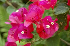 Closeup to Flower bloom in world of plant. Closeup to Flower bloom and blossom Clover flowers with colorful of colour stock images