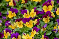 Closeup to Flower bloom in world of plant. Closeup to Flower bloom and blossom Clover flowers with colorful of colour royalty free stock image