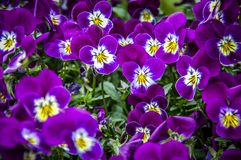 Closeup to Flower bloom in world of plant. Closeup to Flower bloom and blossom Clover flowers with colorful of colour royalty free stock photography