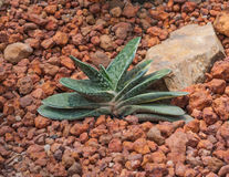 Closeup to Gasteria Pillansii, Succulent and Arid Plant.  Royalty Free Stock Photos
