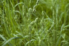 Flowering orchard grass. Closeup to green blossoms of dactylis glomerata, a member of grass family royalty free stock images