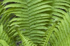 Fern unrolling two new fronds. Closeup to green fern, a vascular plant in forest, unrolling two new fronds Royalty Free Stock Image